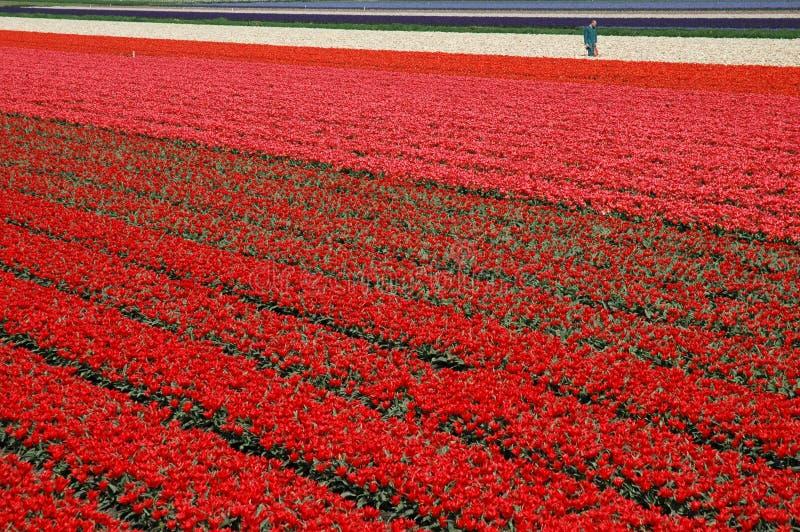 τουλίπες του Άμστερνταμ στοκ φωτογραφία με δικαίωμα ελεύθερης χρήσης