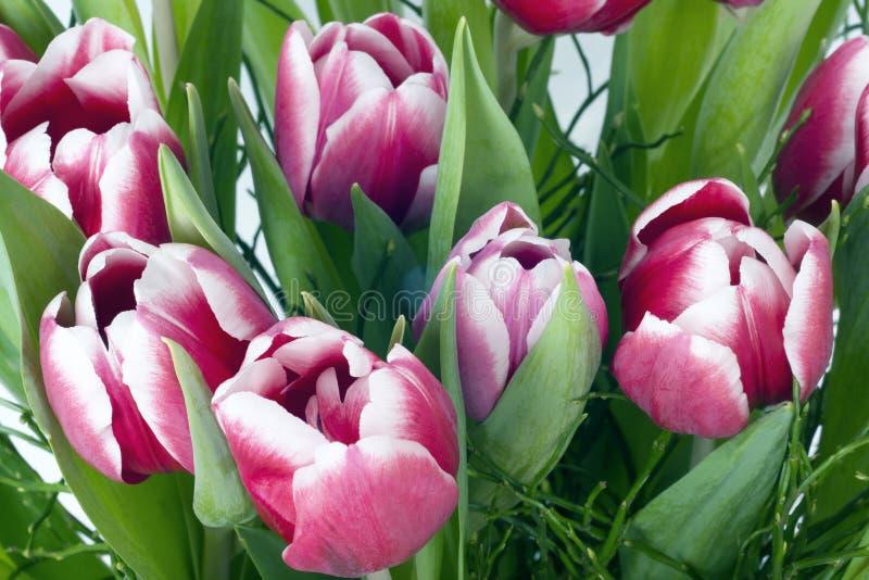 Download τουλίπες στοκ εικόνα. εικόνα από τουλίπα, λουλούδι, εποχιακός - 22788743