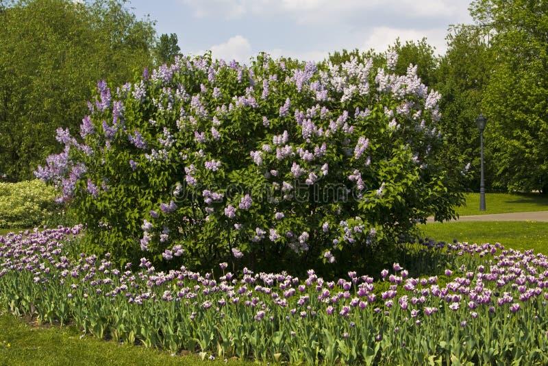 Download τουλίπες lilas κήπων στοκ εικόνες. εικόνα από φύση, φυτό - 17059152