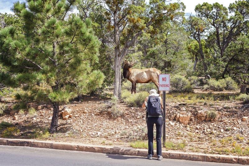 Τουρίστας που παίρνει την εικόνα ενός ελαφιού που υπερασπίζεται έναν δρόμο στοκ φωτογραφία
