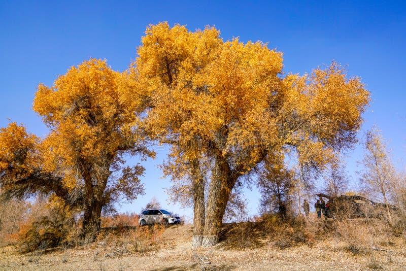 Τουρίστες και χρυσό Populus το φθινόπωρο στοκ εικόνα