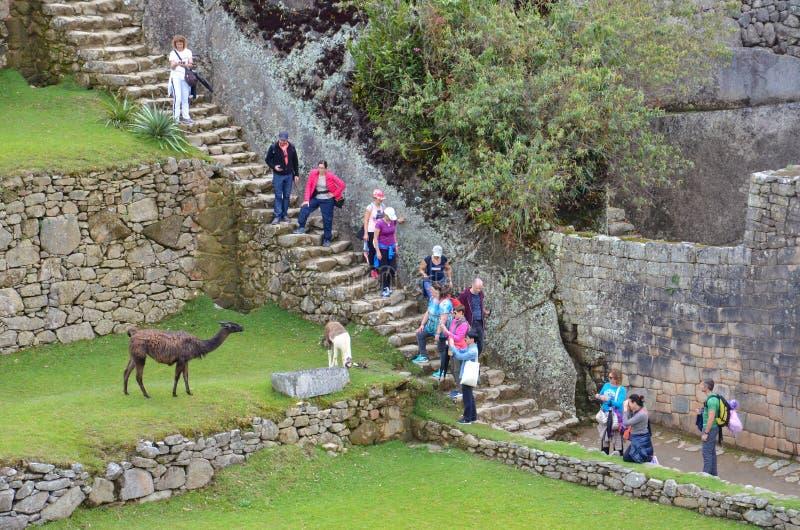 Τουρίστες και llamas Picchu Machu στοκ εικόνα με δικαίωμα ελεύθερης χρήσης