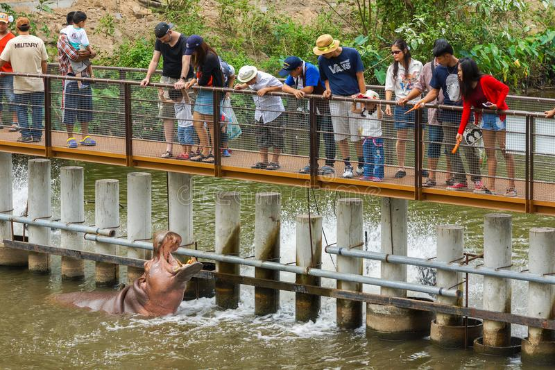 Τουρίστες στα ξύλινα τρόφιμα σίτισης γεφυρών στο hippopotamus στοκ εικόνα με δικαίωμα ελεύθερης χρήσης