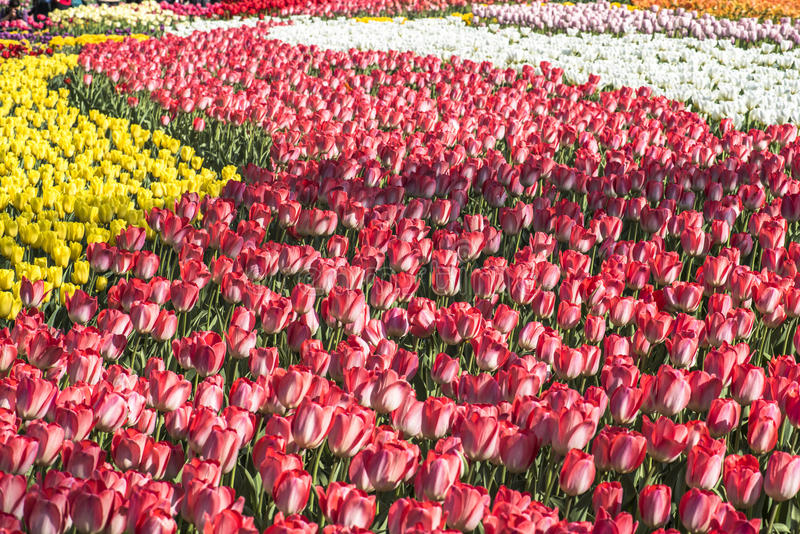 τουλίπα κήπων στοκ εικόνες με δικαίωμα ελεύθερης χρήσης