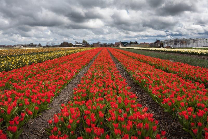 Τουλίπες Η όμορφη ζωηρόχρωμη κόκκινη τουλίπα ανθίζει την άνοιξη τον τομέα στοκ φωτογραφίες με δικαίωμα ελεύθερης χρήσης