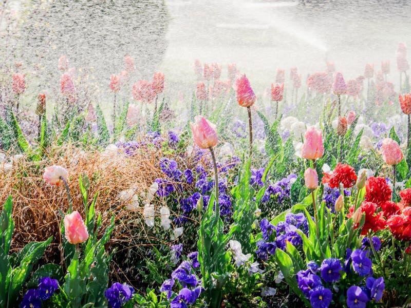 Τουλίπες κάτω από τη βροχή στο πάρκο - φρέσκο ελατήριο στοκ εικόνες
