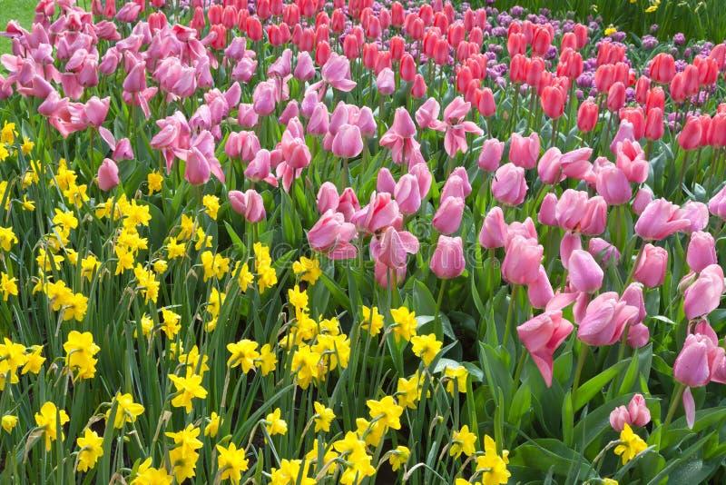 Τουλίπες και λουλούδια ναρκίσσων στοκ φωτογραφία με δικαίωμα ελεύθερης χρήσης