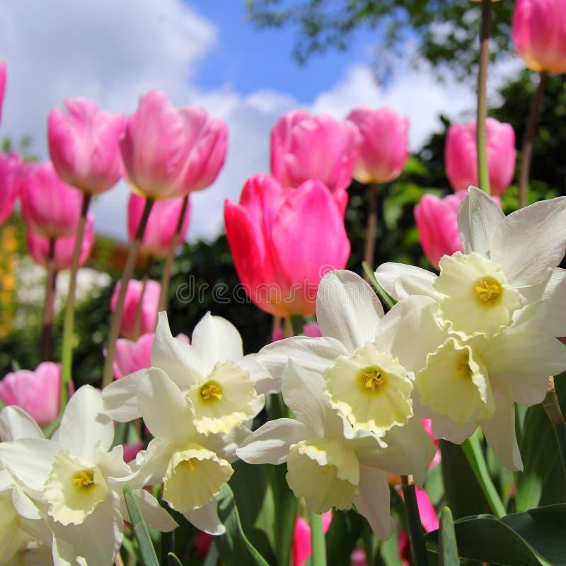 Τουλίπες και daffodils στοκ φωτογραφία