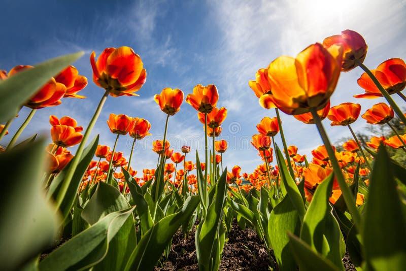 Τουλίπες λουλουδιών, μπλε ουρανός, ntyulpany στοκ φωτογραφίες με δικαίωμα ελεύθερης χρήσης