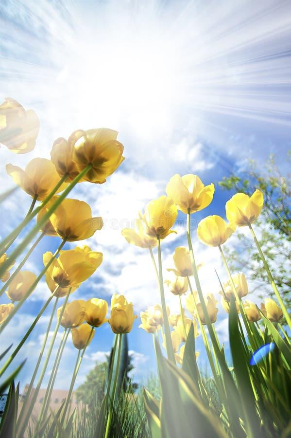 Τουλίπες στον ήλιο στοκ φωτογραφίες με δικαίωμα ελεύθερης χρήσης