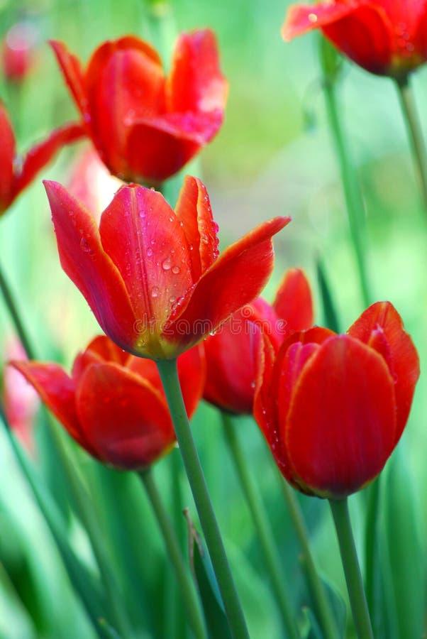 Τουλίπες όμορφα λουλούδια στοκ εικόνα