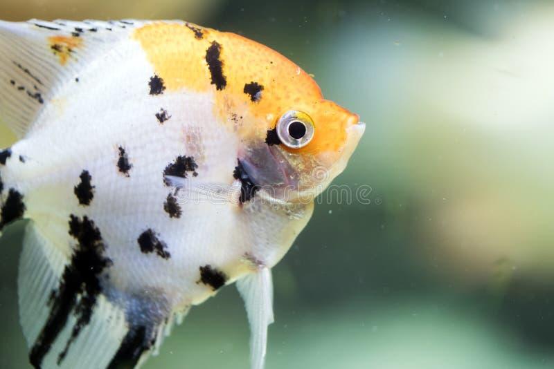 Του γλυκού νερού angelfish ή Angelfish που έχει ένα μαύρο άσπρο και κίτρινο σχέδιο στοκ φωτογραφία με δικαίωμα ελεύθερης χρήσης