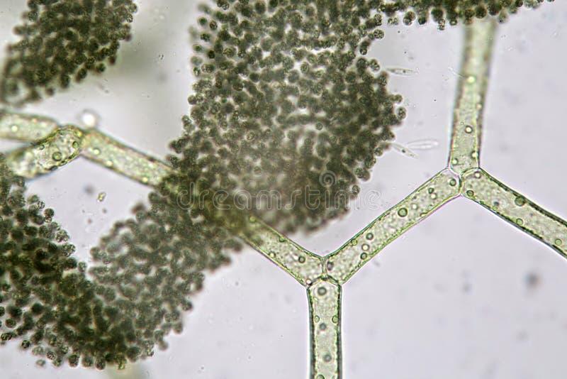 Του γλυκού νερού reticulatum Hydrodictyon αλγών και ομάδα cyanobacteria μακρο καλοκαίρι λουλουδιών του 2009 έξοχο ικανότητας στοκ εικόνα