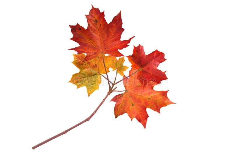 Του Καναδά σφενδάμνου δέντρων κλάδος φθινοπώρου που απομονώνεται κόκκινος στο λευκό στοκ φωτογραφία
