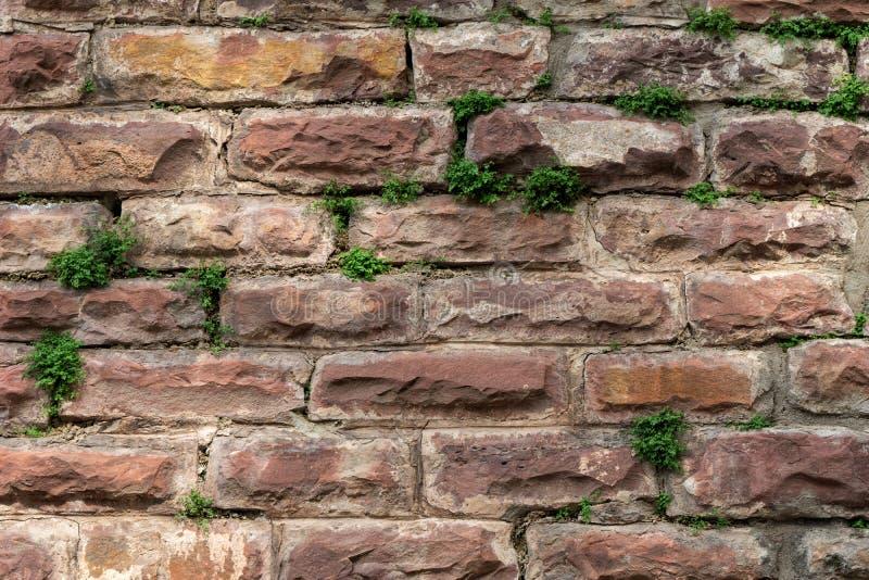Τούβλινος τοίχος με τα αναρριχητικά φυτά φύλλων πράσινων φυτών στοκ εικόνες