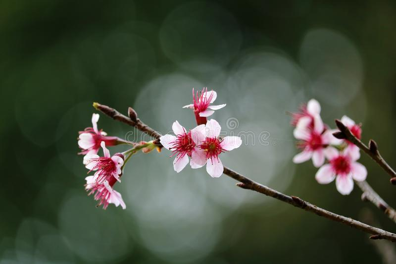 Το άγριο himalayan άνθος κερασιών mai Ταϊλάνδη chiang στοκ εικόνα με δικαίωμα ελεύθερης χρήσης