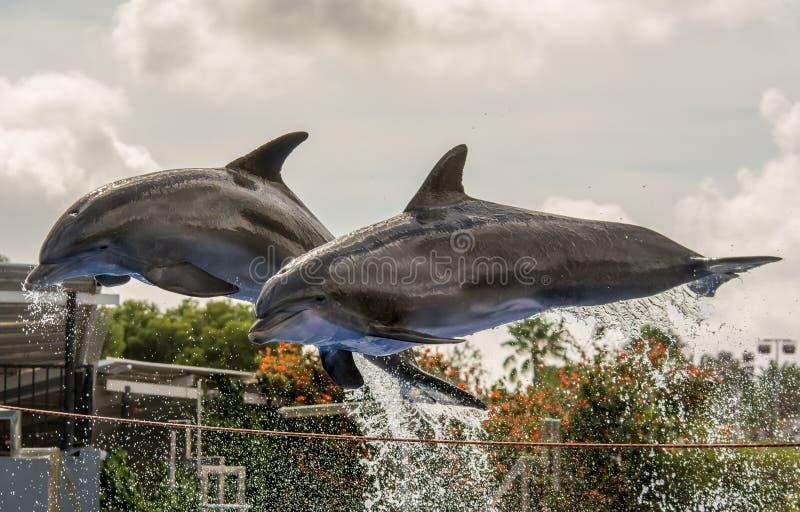 Το άλμα δύο δελφινιών από το νερό κατά τη διάρκεια ενός δελφινιού παρουσιάζει στοκ φωτογραφία με δικαίωμα ελεύθερης χρήσης