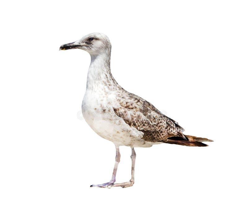 Το άλμπατρος, σε ένα άσπρο υπόβαθρο, απομονώνει στοκ εικόνα με δικαίωμα ελεύθερης χρήσης