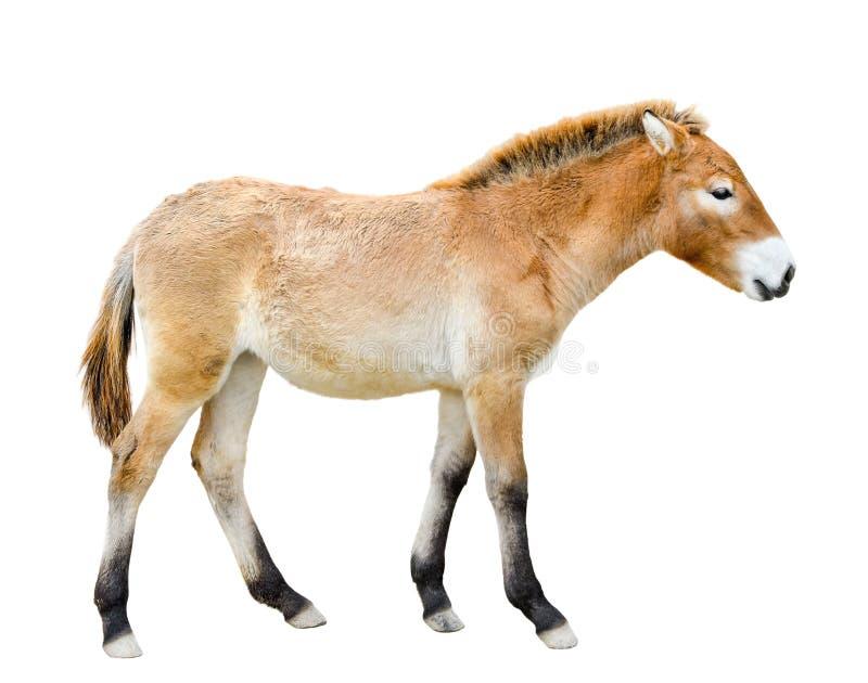 το άλογο απομόνωσε το λ&eps Νέο πλήρες μήκος αλόγων Przewalski ή αλόγων Dzungarian Ζώα ζωολογικών κήπων άγρια περιοχές αλόγων στοκ φωτογραφία με δικαίωμα ελεύθερης χρήσης