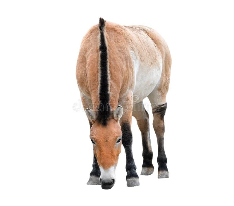 το άλογο απομόνωσε το λ&eps Νέο πλήρες μήκος αλόγων Przewalski ή αλόγων Dzungarian Ζώα ζωολογικών κήπων άγρια περιοχές αλόγων στοκ εικόνες με δικαίωμα ελεύθερης χρήσης