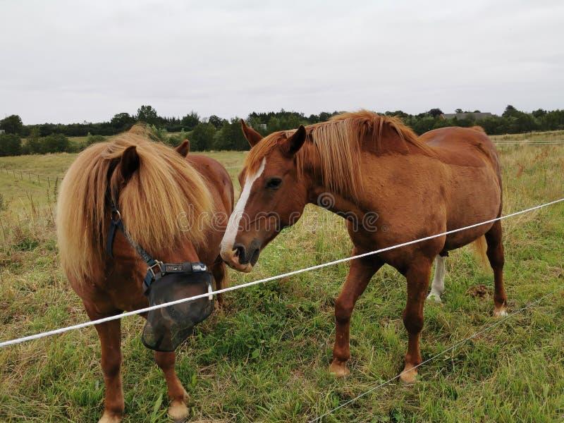 Το άλογο είναι περίεργο στοκ εικόνα