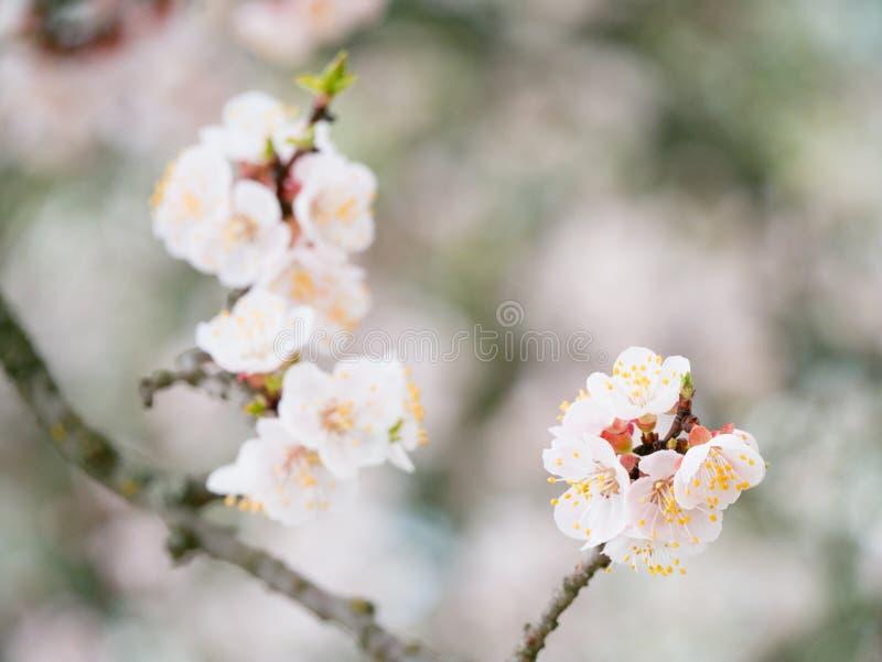 Το άνθισμα διακλαδίζεται και μια μέλισσα σε ένα δέντρο βερικοκιών λουλουδιών στο blurr στοκ εικόνα