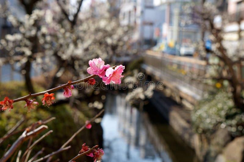 το άνθος ανθίζει ιαπωνική άνοιξη δαμάσκηνων στοκ φωτογραφίες