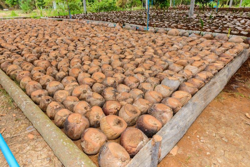 Το άρωμα καρύδων είναι τέμνον κεφάλι για τις φυλές στοκ φωτογραφία με δικαίωμα ελεύθερης χρήσης