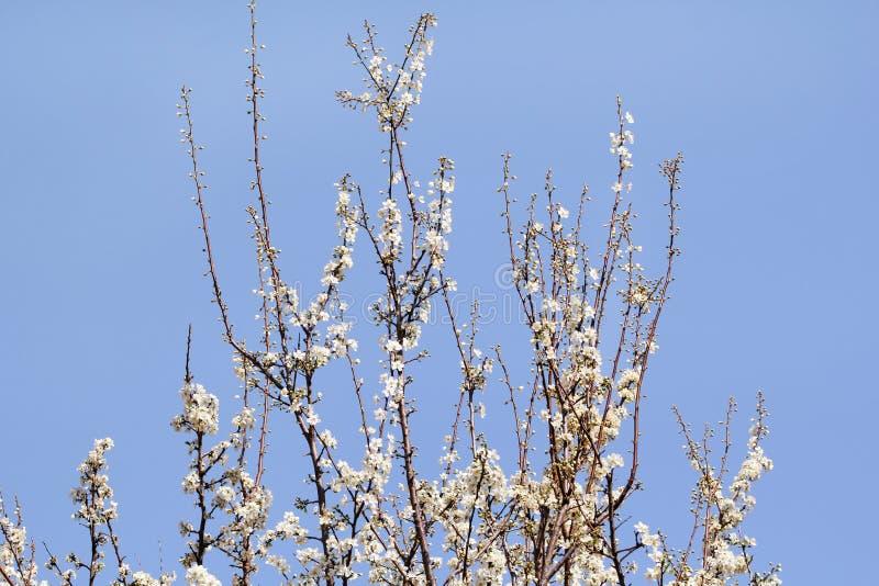Το άσπρο άνθος κερασιών/τα ανθίζοντας οπωρωφόρα δέντρα/το ανθίζοντας βερίκοκο ενάντια στο μπλε ουρανό/το αμύγδαλο ανθίζουν στοκ φωτογραφία