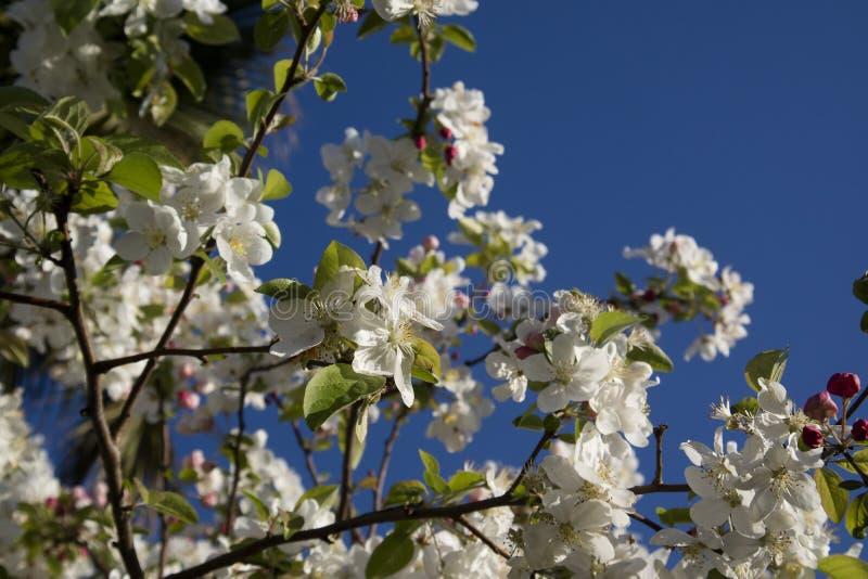Το άσπρο άνθος μήλων στοκ φωτογραφία