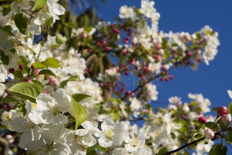 Το άσπρο άνθος μήλων στοκ φωτογραφία με δικαίωμα ελεύθερης χρήσης