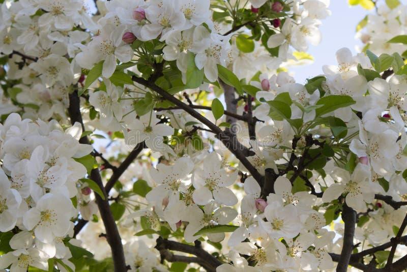 Το άσπρο άνθος μήλων στοκ εικόνα