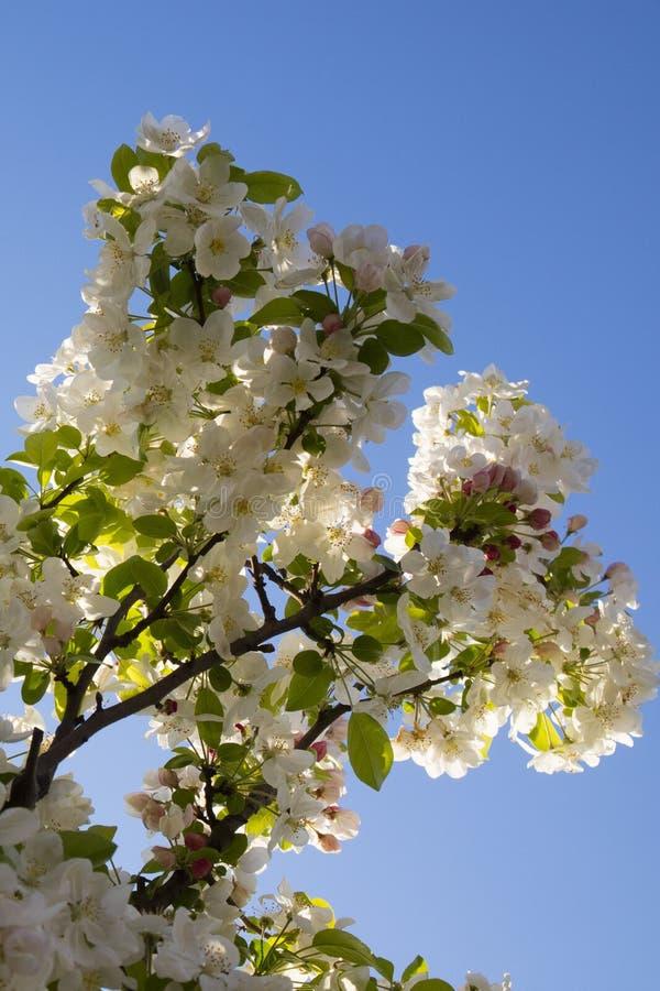 Το άσπρο άνθος μήλων στοκ εικόνες