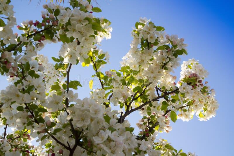 Το άσπρο άνθος μήλων στοκ εικόνες με δικαίωμα ελεύθερης χρήσης