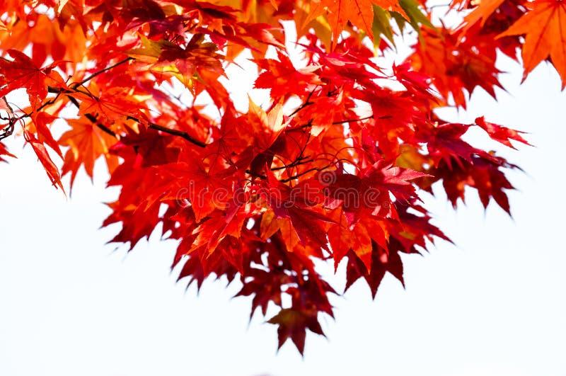Το άσπρο απομονωμένο δέντρο κλάδων σφενδάμνου υποβάθρου κόκκινο στον ουρανό στην εποχή φθινοπώρου, φύλλα σφενδάμου γυρίζει στο κό στοκ φωτογραφίες
