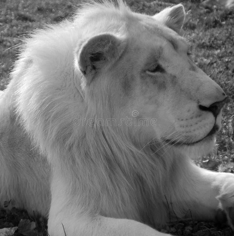 Το άσπρο λιοντάρι είναι μια σπάνια μεταλλαγή χρώματος του λιονταριού στοκ εικόνες με δικαίωμα ελεύθερης χρήσης
