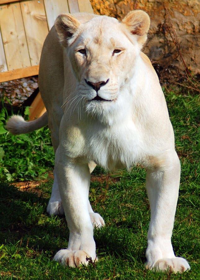 Το άσπρο λιοντάρι είναι μια σπάνια μεταλλαγή χρώματος του λιονταριού στοκ φωτογραφίες με δικαίωμα ελεύθερης χρήσης