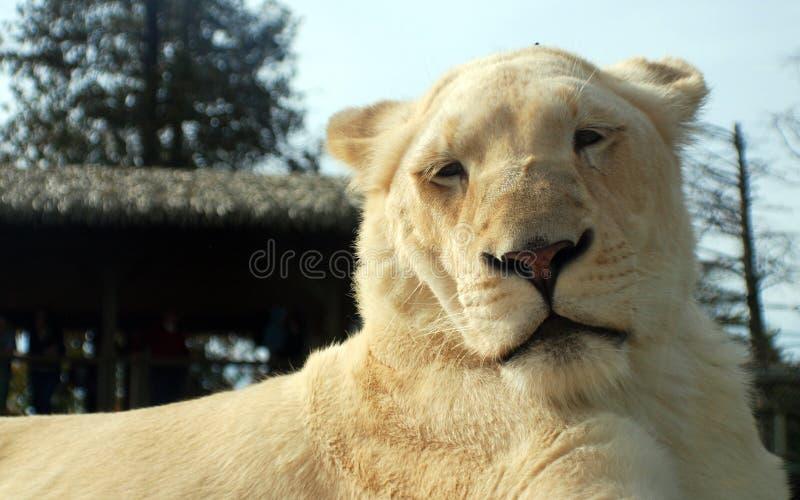Το άσπρο λιοντάρι είναι μια σπάνια μεταλλαγή χρώματος του λιονταριού στοκ φωτογραφίες