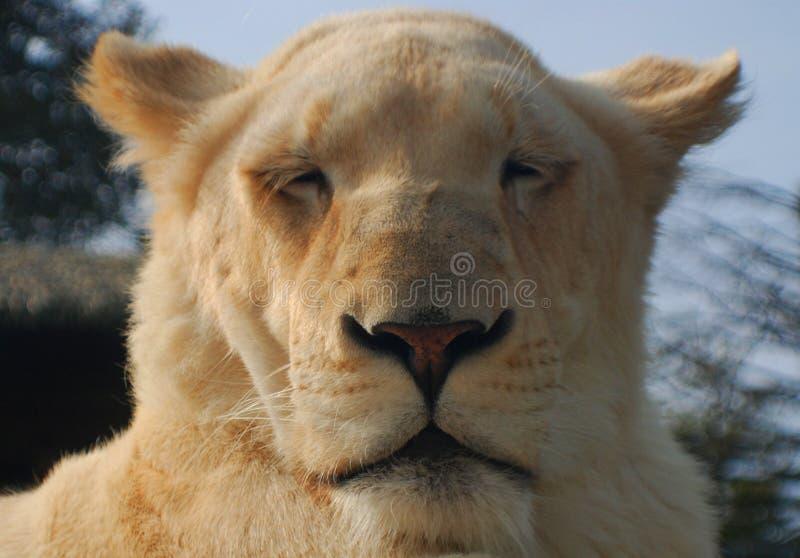 Το άσπρο λιοντάρι είναι μια σπάνια μεταλλαγή χρώματος του λιονταριού στοκ εικόνα με δικαίωμα ελεύθερης χρήσης
