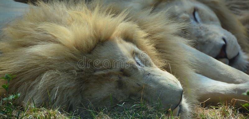 Το άσπρο λιοντάρι είναι μια σπάνια μεταλλαγή χρώματος στοκ εικόνες με δικαίωμα ελεύθερης χρήσης