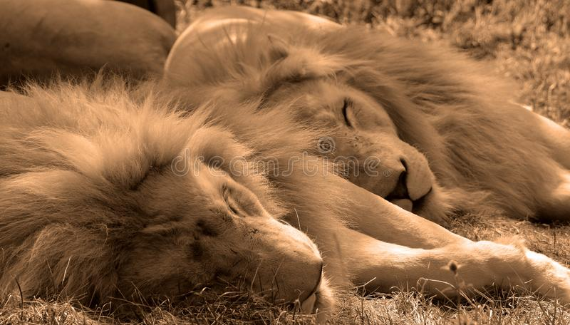 Το άσπρο λιοντάρι είναι μια σπάνια μεταλλαγή χρώματος στοκ φωτογραφία