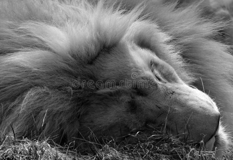 Το άσπρο λιοντάρι είναι μια σπάνια μεταλλαγή χρώματος στοκ φωτογραφία με δικαίωμα ελεύθερης χρήσης