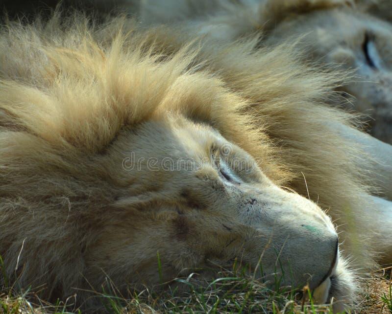 Το άσπρο λιοντάρι είναι μια σπάνια μεταλλαγή χρώματος στοκ εικόνα με δικαίωμα ελεύθερης χρήσης