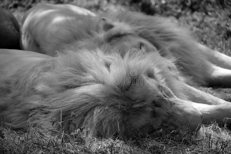 Το άσπρο λιοντάρι είναι μια σπάνια μεταλλαγή χρώματος στοκ φωτογραφίες