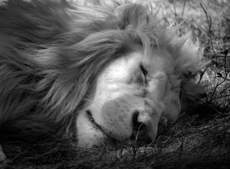 Το άσπρο λιοντάρι είναι μια σπάνια μεταλλαγή χρώματος του λιονταριού στοκ εικόνες