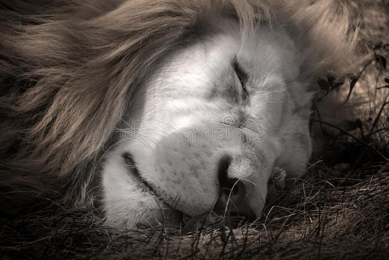 Το άσπρο λιοντάρι είναι μια σπάνια μεταλλαγή χρώματος του λιονταριού στοκ φωτογραφία