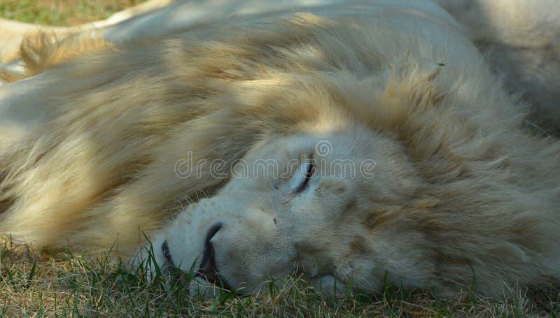 Το άσπρο λιοντάρι είναι μια σπάνια μεταλλαγή χρώματος στοκ φωτογραφίες με δικαίωμα ελεύθερης χρήσης