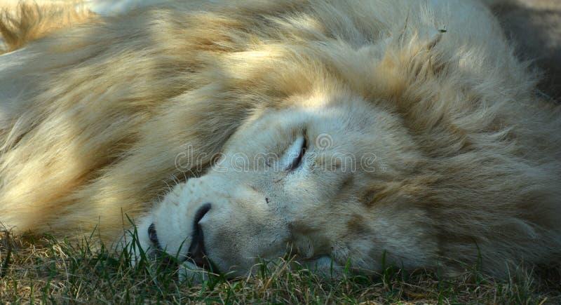 Το άσπρο λιοντάρι είναι μια σπάνια μεταλλαγή χρώματος στοκ εικόνες