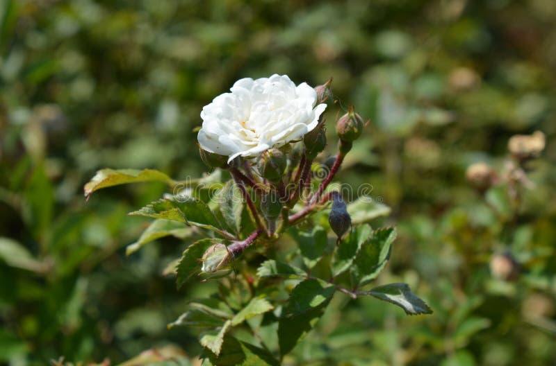 Το άσπρο λουλούδι φθάνει για τον ήλιο στοκ εικόνες με δικαίωμα ελεύθερης χρήσης