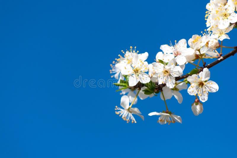 Το άσπρο μήλο ανθίζει με την κίτρινη δύναμη και κόκκινα sepals στον μπλε ηλιόλουστο ουρανό στοκ εικόνα